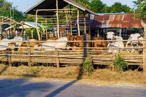 mucche in fattoria all'aperto foto