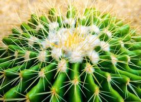 specie di cactus echinocactus grusonii, cactus a botte d'oro foto