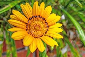primo piano giallo gazania fiore in natura foto