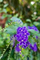 fiori viola duranta erecta in natura foto