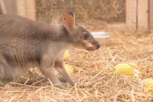wallaby o mini canguro foto