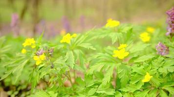 primo piano di un anemone giallo in fiore in primavera su uno sfondo di fiori blu nella foresta. cornici statiche della fotocamera. bellissimi fiori gialli di primula anemone foto