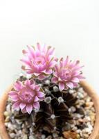 gruppo di fiore di cactus gymnocalycium, fiore di petalo delicato rosa ravvicinato foto