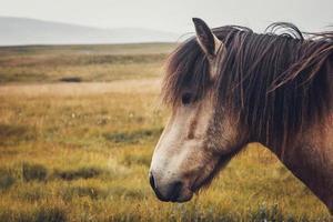 cavallo islandese nel campo del paesaggio naturale scenico dell'Islanda foto