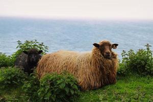 ritratto di pecora faroese foto