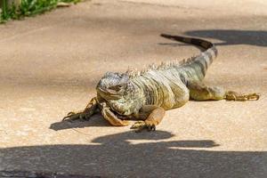 iguana all'aperto a rio de janeiro. foto