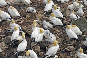 colonia nidificante di sule settentrionali foto
