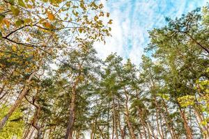 alti bellissimi tronchi di pini nella foresta autunnale foto
