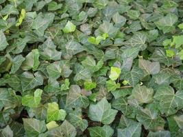 sfondo verde edera foto