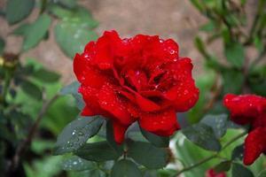 cespuglio di rose in fiore in giardino in estate foto