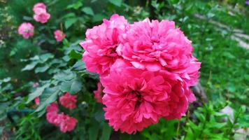 arbusto di rose durante la fioritura in giardino foto