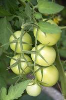 primo piano di pomodori in serra foto
