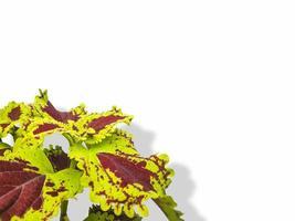 fiore di pianta di coleus su sfondo bianco isolato foto