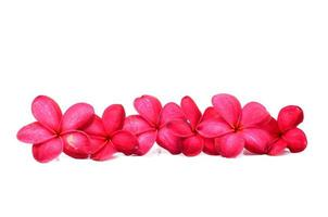 bellissimi fiori di frangipane foto