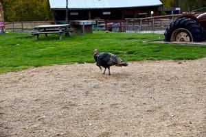 tacchino del ringraziamento alla fattoria foto