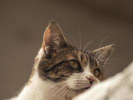 gatto di strada maculato in primo piano foto