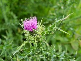 grande pianta medicinale erbacea bardana arctium foto