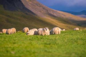 pecora islandese nel prato foto