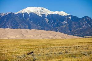 alce con il grande parco nazionale delle dune di sabbia sullo sfondo colorado foto