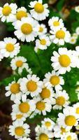 sfondo floreale di margherite bianche foto