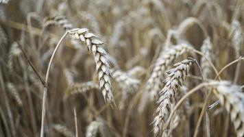 primo piano di steli di grano dorato, spiga di grano. foto