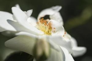 primo piano di una singola rosa bianca foto