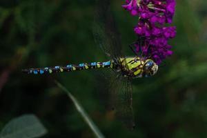 libellula aeshna cyanea foto