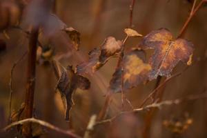 belle foglie autunnali sul cespuglio foto