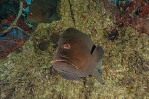 i pesci nuotano nel mar rosso, pesci colorati, eilat israele foto