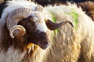 un mammifero di fattoria animale pecora che guarda foto