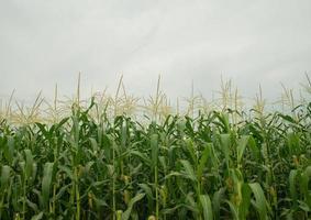 campi di mais bella vista naturale stagione delle piogge foto
