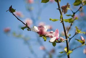 ramo di magnolia rosa in fiore foto