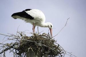 cicogna in un nido in cima a un pilastro foto