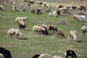 gregge di pecore nel campo foto