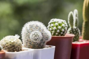 cactus mammillaria carmenae in vaso foto