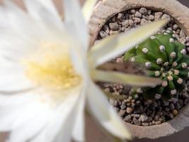 colore bianco fragile petalo di fiore di cactus echinopsis foto