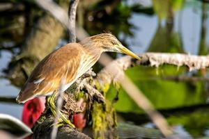 ardeola ralloides uccello seduto su un ramo foto