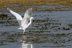 garzetta uccello sul lago in cerca di preda foto