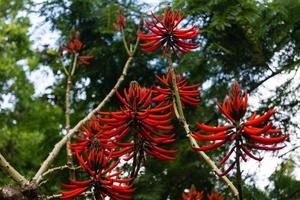 albero di corallo - korallenbaum erythrina speciosa foto
