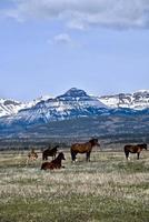 cavalli nelle montagne rocciose canadesi foto