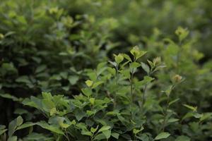 siepe di foglie verdi come sfondo foto