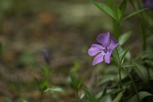 piccolo fiore viola nella foresta foto