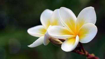 fiori di frangipane in giardino foto
