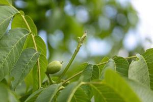 noce verde su un ramo di un albero con bokeh sfocato durante la primavera foto