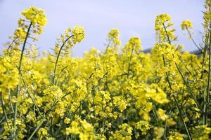 colza campo giallo in fiore in bulgaria foto