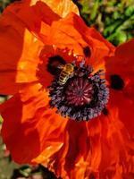 foglie e polline del fiore di papavero foto