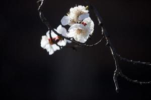 fiore dell'albero di albicocca foto