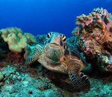 tartaruga marina verde vicino all'isola di apo. foto