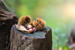 riccio di castagne con castagne nel bosco autunnale foto