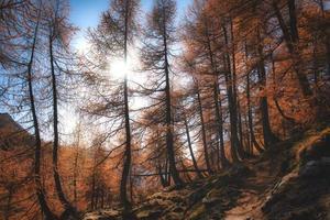 il sole filtra attraverso un bosco di larici autunnali sulle alpi foto